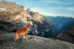 Dog in the mountains. Tracking, hiking with a pet. Brave Nova Scotia Duck Tolling Retriever on top