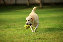 Dog in the park, Labrador Retriever playing with ball