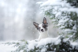 dog in the winter in the snow. Portrait of a border collie by the Christmas tree. Pet walk.