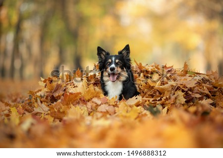 Dog in the yellow leaves in autumn in the park. Pet for a walk. Tri-color Border Collie