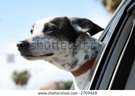 dog in window car 2