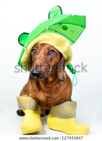 Dog in yellow boots and hat