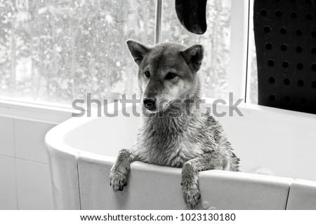 Dog is bathing, shiba inu is grooming - Shutterstock ID 1023130180