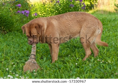 Dog is cleaning the garden with a broom