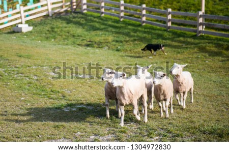 Dog is controlling the sheep