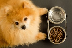 dog is eating dry food and water in bowl, looks at the camera, waiting for the command. animal and diet. pet care and feeding. Pomeranian spitz does not want to eat. soft focus