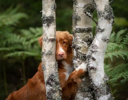 dog is hiding behind a tree. Wet Scots Retriever in nature. Walk with pet, toller.