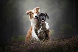 Dog is hugging his best friend. Border collie hugs boxer dog. Friendship between dogs.