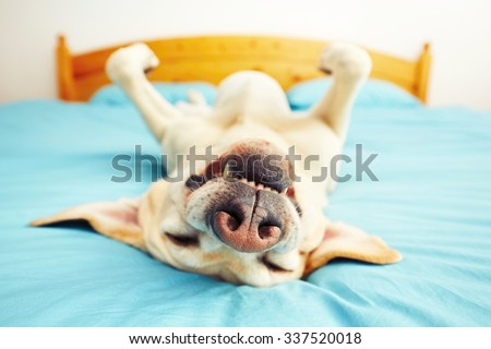 Dog is lying on back on the bed - selective focus