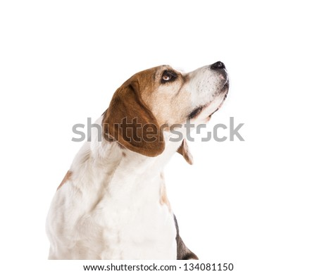 Dog is posing in studio - isolated on white background #134081150