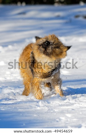 Dog is shaking snow off at winters day. Motion blur. The breed of the dog is a Cairn Terrier.