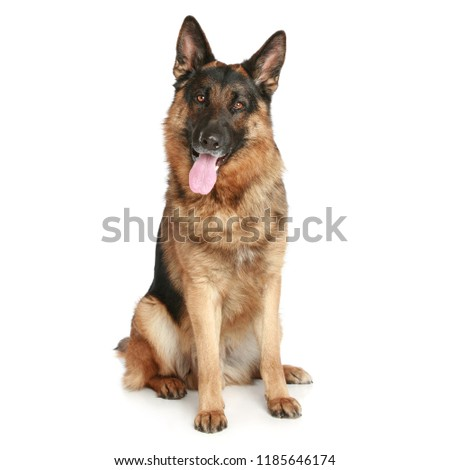 Dog is sitting frontal and looking at camera, isolated on white background, Cute Puppy on a white,  #1185646174