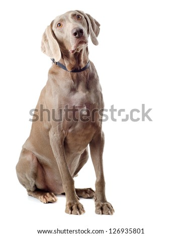 Dog isolated on white #126935801