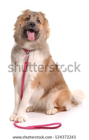 dog isolated over white background