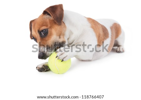 Dog Jack Russel terrier playing with a toy. Dog is gnawing yellow tennis ball. Isolated on white. Studio shot.