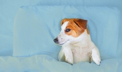 Dog jack russell resting in blue bed under the covers. Dog on blue bedding.
