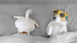 Dog jack russell resting on gray bed under the covers. Dog in yellow sunglasses.