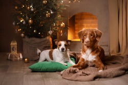 Dog Jack Russell Terrier and Dog Nova Scotia Duck Tolling Retriever . Happy New Year, Christmas, holidays and celebration, pet in the room the Christmas tree