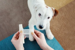 Dog Jack Russell Terrier getting bandage after injury on his leg at home. Pet health care, medical treatment, first aid concept