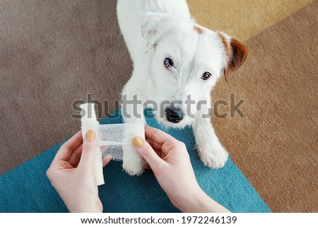 Dog Jack Russell Terrier getting bandage after injury on his leg at home. Pet health care, medical treatment, first aid concept Stock photo ©