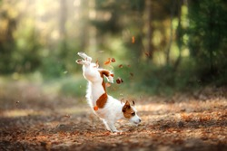 Dog Jack Russell Terrier jump over the leaves, autumn mood