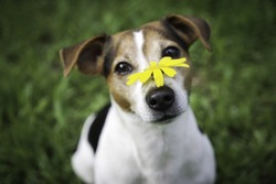 Dog Jack Russell Terrier on green background with yellow flower on the nose. No hay and allergy, pet health care concept