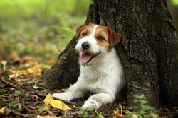Dog Jack Russell Terrier under a tree