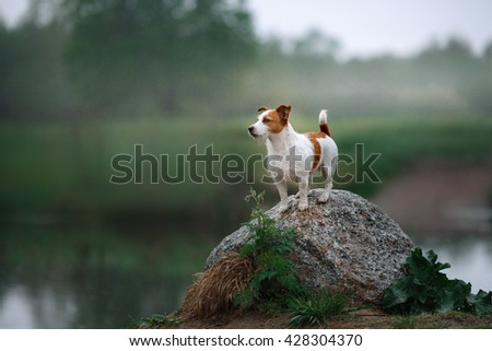 Dog Jack Russell Terrier walking by the lake #428304370