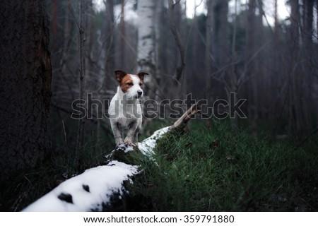 Dog Jack Russell Terrier walking in winter park