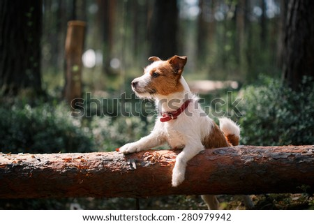 Dog Jack Russell Terrier walks in the park, summer