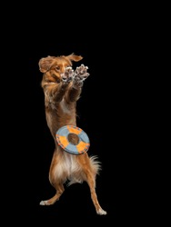 Dog jumping over the disc. Pet in the studio on a black background. Active Nova Scotia Duck Tolling Retriever
