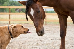 Dog kissing horse. Friendly Golden Retriever pup and his best friend, an Arabian Quarter Horse on a ranch in Colorado on a beautiful spring morning. Showing love and affection with a big smooch.