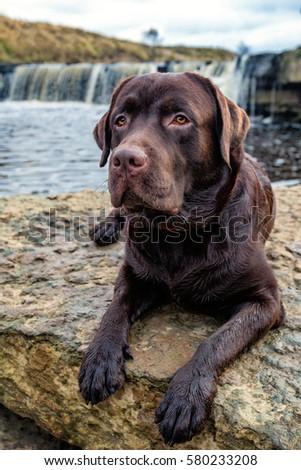 Dog Labrador. Dog near the river. brown labrador. #580233208