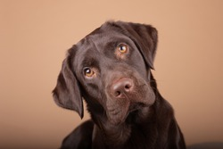 Dog labrador puppy brown chocolate in studio, isolated background headshots of one year old dog.