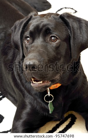 Dog-Labrador Retriever. - stock photo