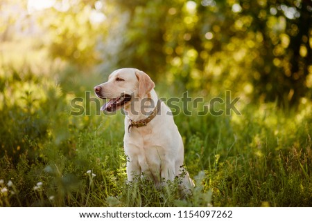 Dog labrador retriever in park #1154097262
