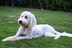 Dog Laying On Grass In Yard