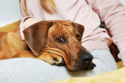 Dog laying on its owner's knees. Close-up dog portrait.