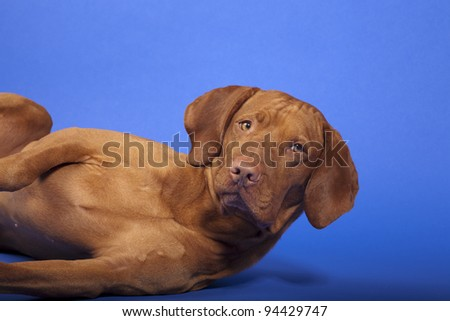 dog laying on its side lifting head off the floor in studio an blue background