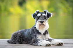 Dog laying on pier of river, green background. Mini schnauzer pup, salt and pepper; black and white obedient dog. He has a long beard and striking eyebrows.