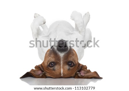 dog laying upside down on back