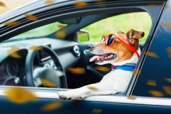 dog leaning out the car window with funny sunglasses in  windy autumn fall with leaves flying around