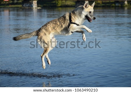 Dog leaping in the water #1063490210