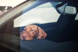 Dog left alone in locked car. Abandoned animal concept.