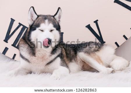 dog licking oneself - stock photo