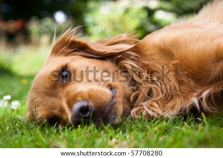 Dog lieing on its side looking into the camera