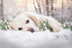 Dog lies in the snow between flowers