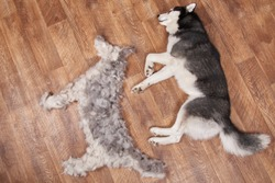 Dog lies next to the figure dog from combed wool. Siberian husky lying next to its combed-out seasonal undercoat. Moulting and big pile fur. View from above.