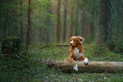 dog lies on a log in forest. Nova Scotia Duck Tolling Retriever in nature among the trees.