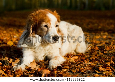 Dog lies on the leaves